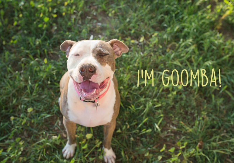 pitbull photography, pet photography, pitbull photo shoot, american pitbull photo, american terrier photography, friendliest pitbull in the world, goomba the pitbull
