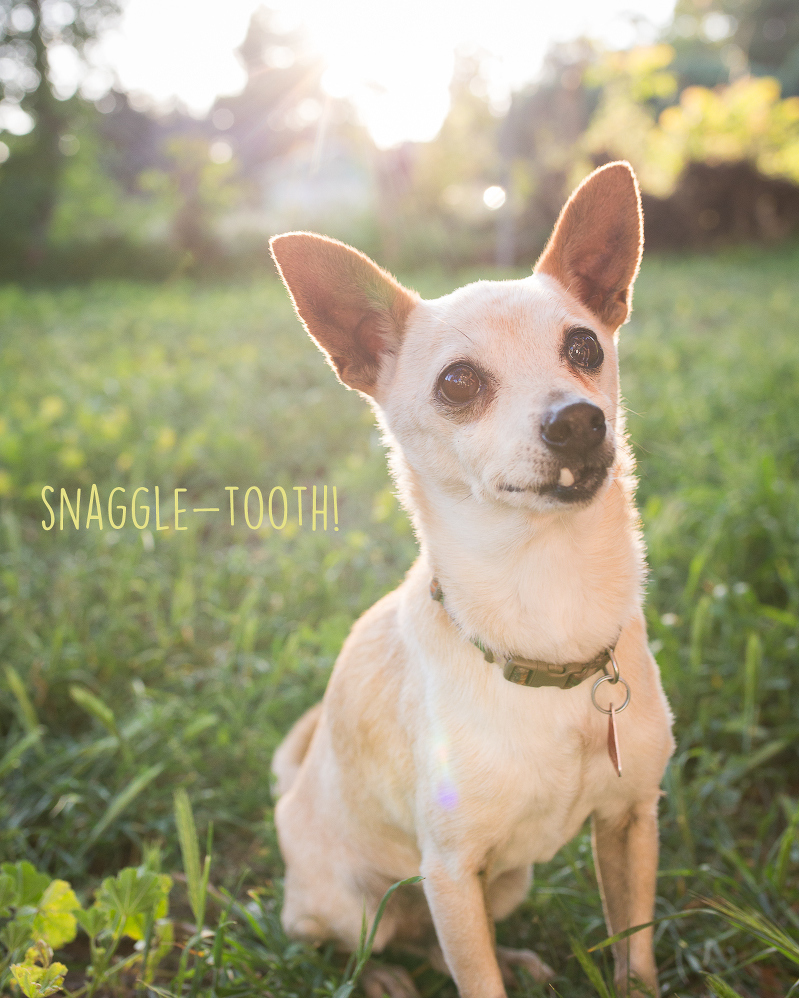 snaggle tooth chihuahua, chihuahua photography, chihuahua photo shoot, pet photography, dog photography, short haired chihuahua