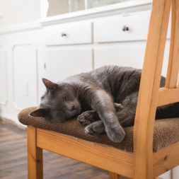 cat sleeping on chair, korat cat, cat photography