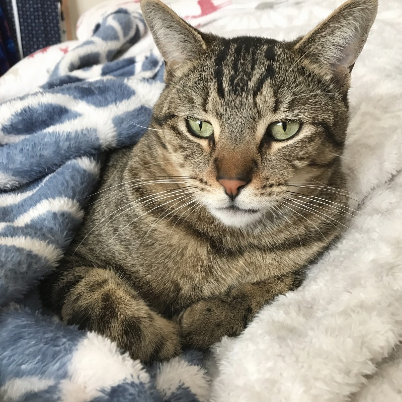 cats and blankets, tabby cat, cats and quilts, cats and sewing, caturday