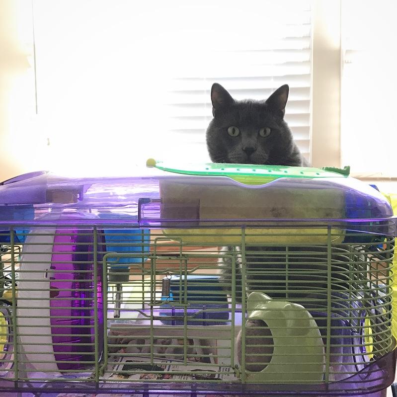cat and hamster, korat cat, teddy bear hamster